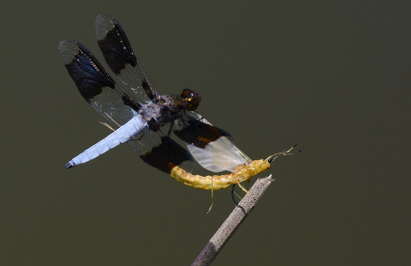 pretty blue and black dragonfly landing on a replica mayfly fishing fly