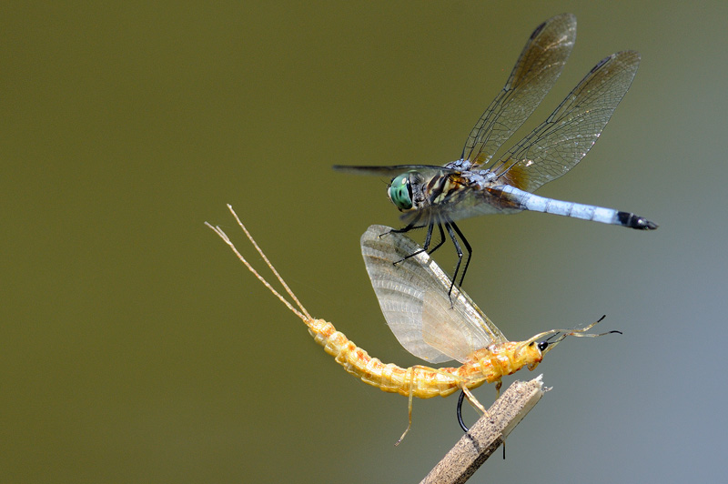 Blue Dasher dragonfly investigating a fishing fly