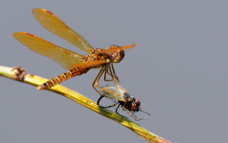 tiny little orange dragonfly with prey