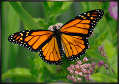 Monarch Butterfly in New York
