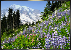 Mount Rainier summer wildflowers 2012