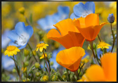 California Wildflower Photography