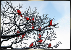 Red Crows in Munich trees