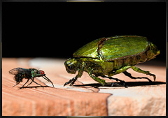 Green beetle and fly