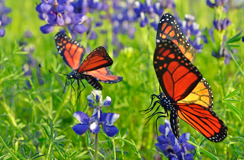 Pair of fake replica Monarch Butterflies photographed with California wildflowers