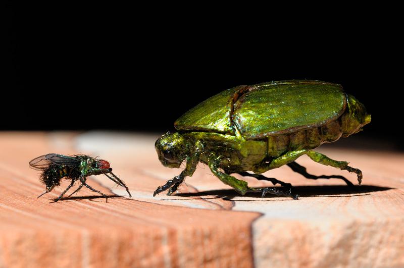 Mouche domestique et coléoptère, Graham Owen