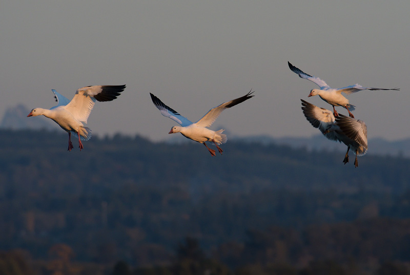 Snow Geese appear commical at times