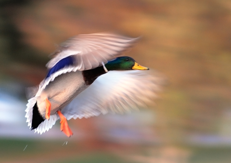 Mallard Drake in flight with angelic wing motion