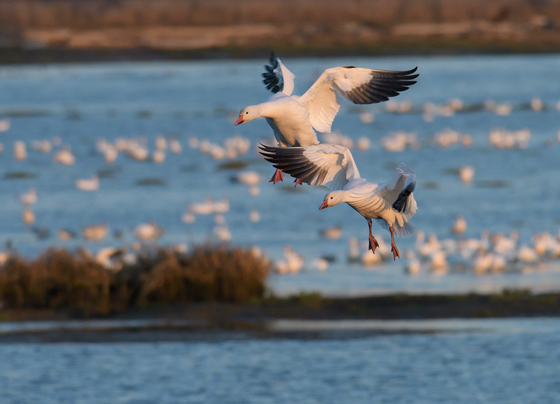 Skagit Valley Snow Geese in flight about to land