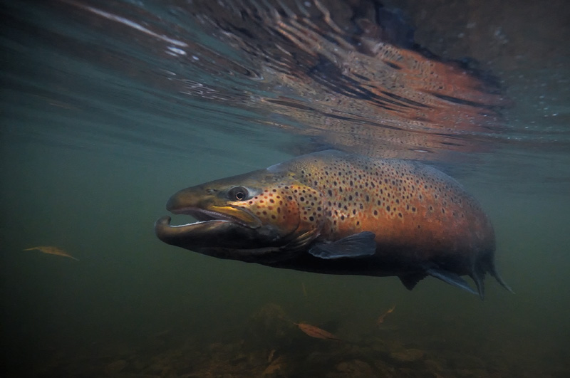 Fly fishing trout and fish underwater photography images for Brown trout fly fishing