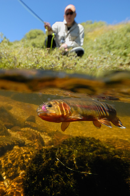 Fly fishing addicts user forum view topic little for Golden trout fishing