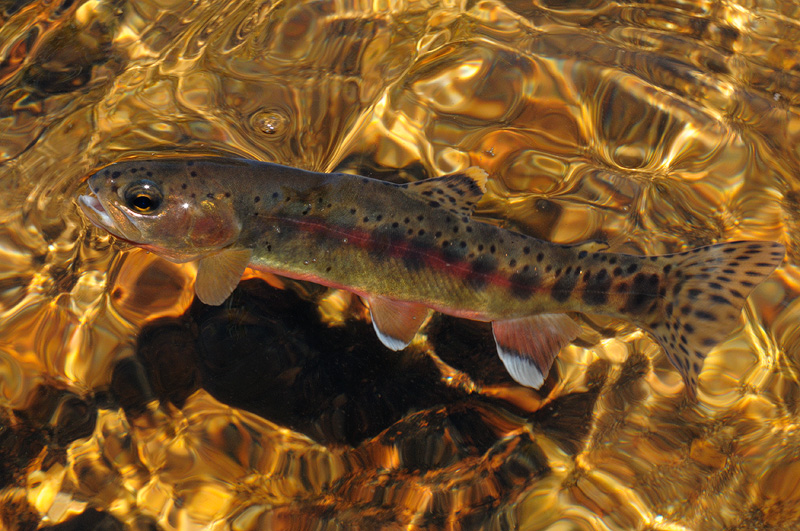 California Golden Trout Photography And Fly Fishing