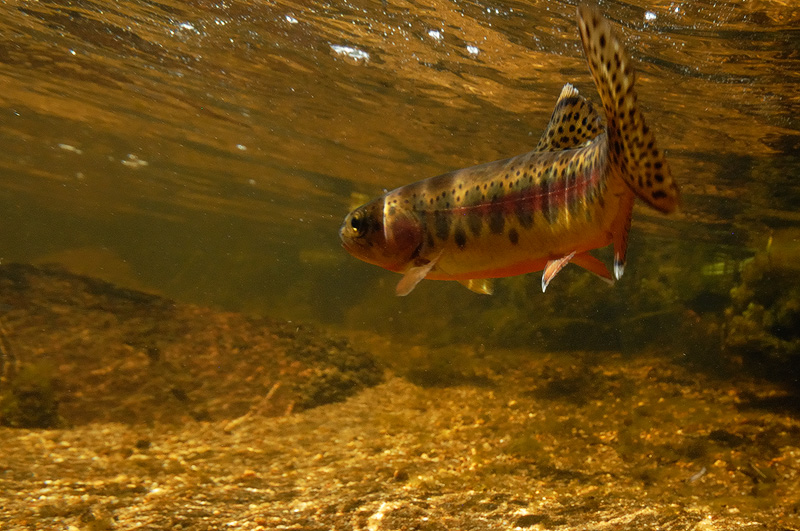 Fly Fishing Trout And Fish Underwater Photography Images