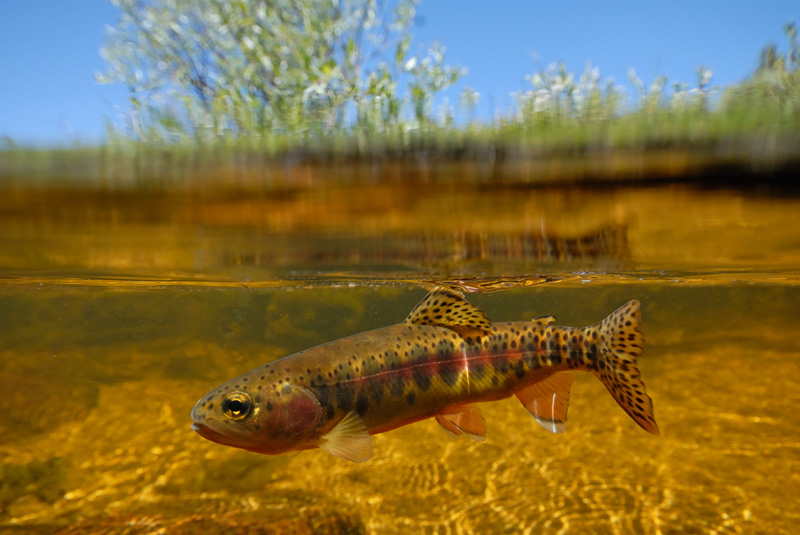 Golden Trout Fishing | California Golden Trout Photography And Fly Fishing