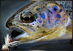 sierra rainbow trout