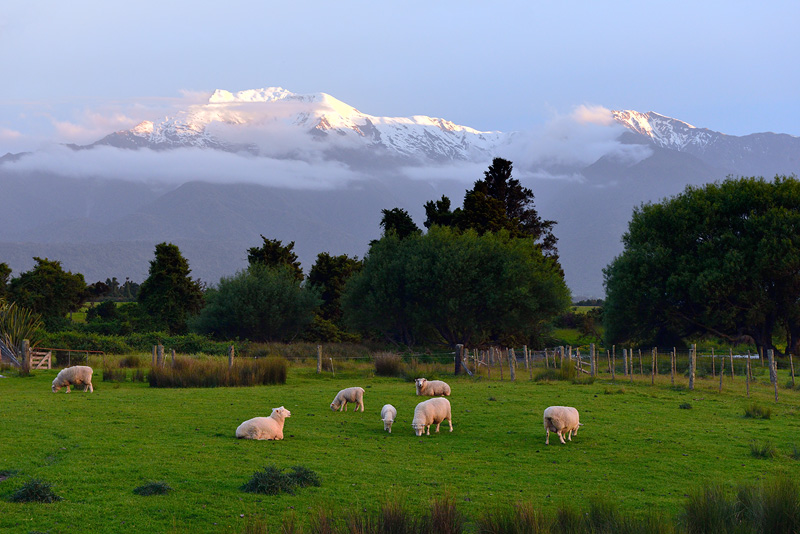 Grazing sheep and snowcapped mountain view from the back deck of my rental cottage
