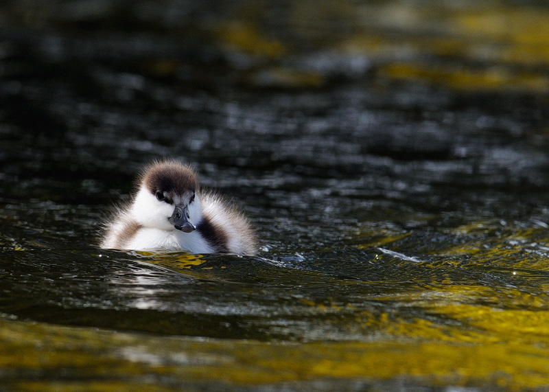 Baby Paradise duckling close up photo