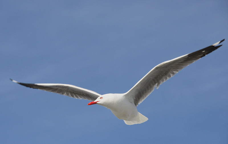 New Zealand gull in flight with pretty red eyelids and bill