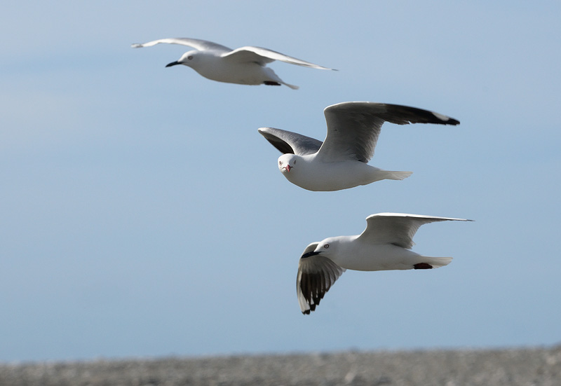 Three young gulls in playful flight