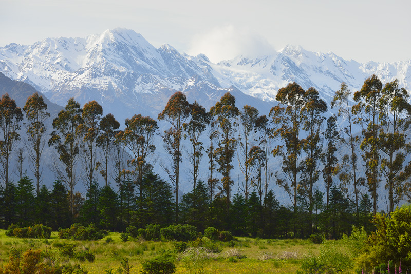 Eucalyptus trees and snowcapped peaks, an unusual combination