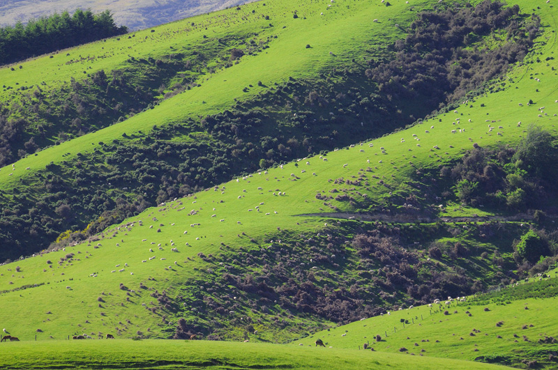 New Zealand green hillsides dotted with sheep