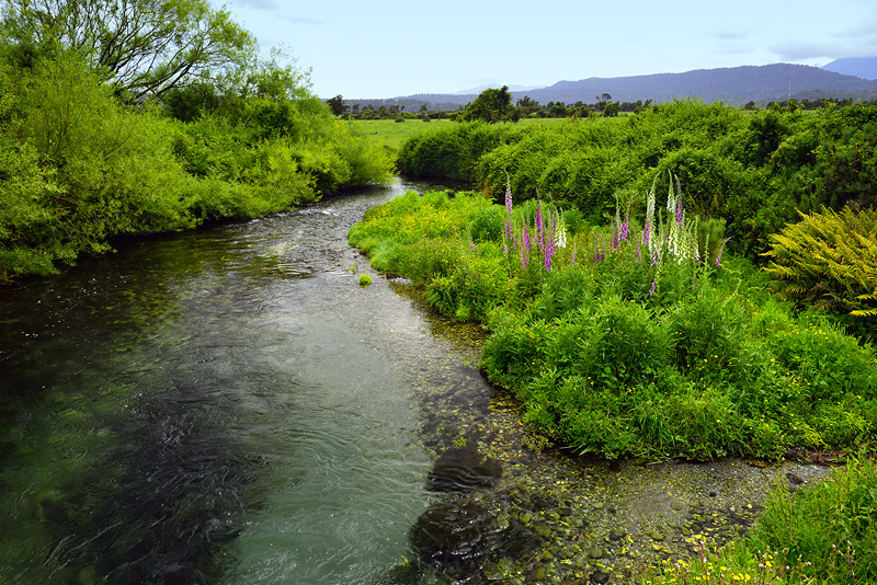 New Zealand spring creek flows through an idyllic scene with spring wildflowers in the mix
