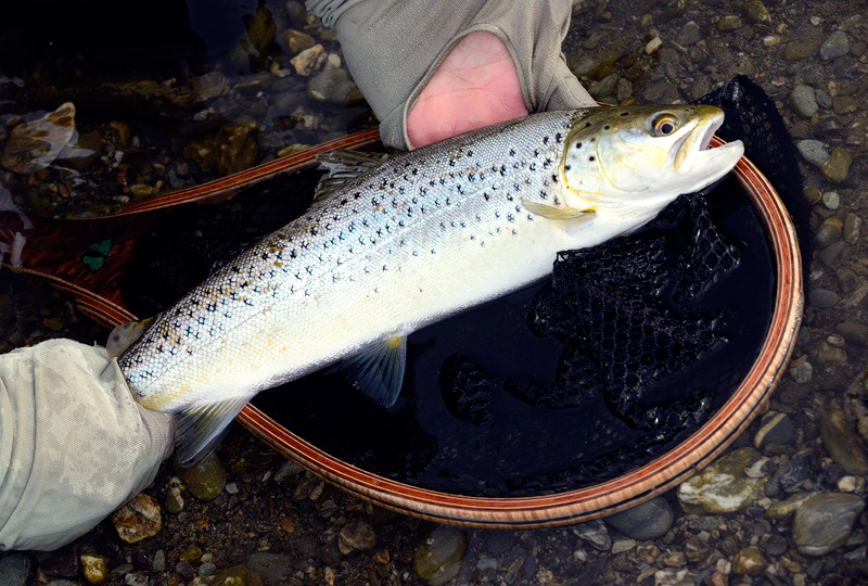 Silvery brown trout caught and released in salty water by the Tasman Sea