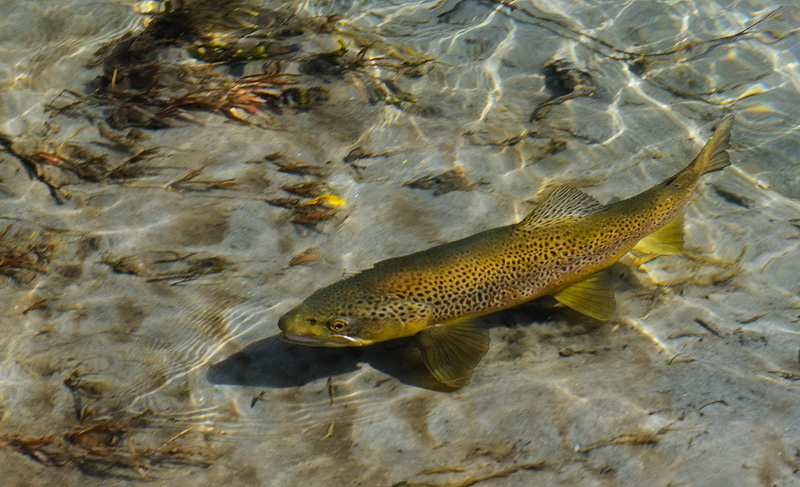 Brown trout swimming the shallows