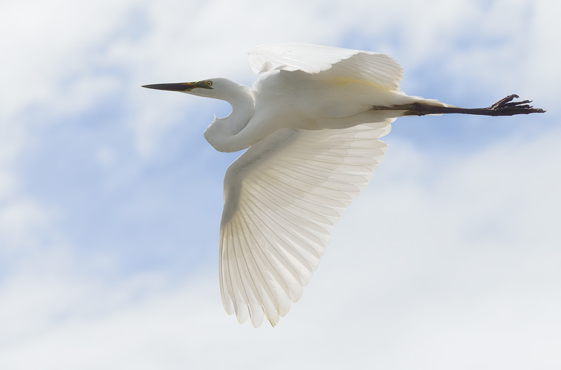 White Heron photographed in flight close up