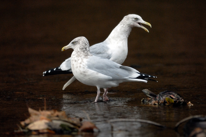 Gulls feasting on dead salmon in upstate New York