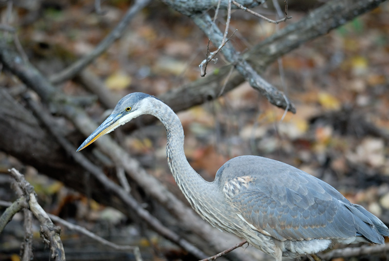 Great Blue heron in upstate New York