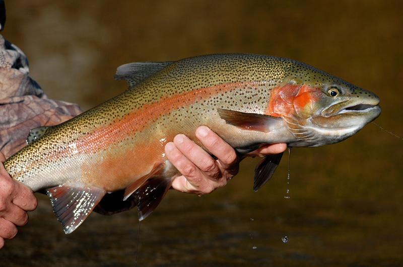 Steelhead Rainbow Trout