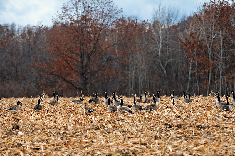 A flock of Canada Geese in a corn field