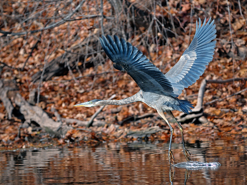 great blue heron flying over the trout stream