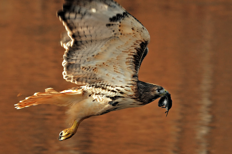 Red-tailed hawk flying over a river with a mouse