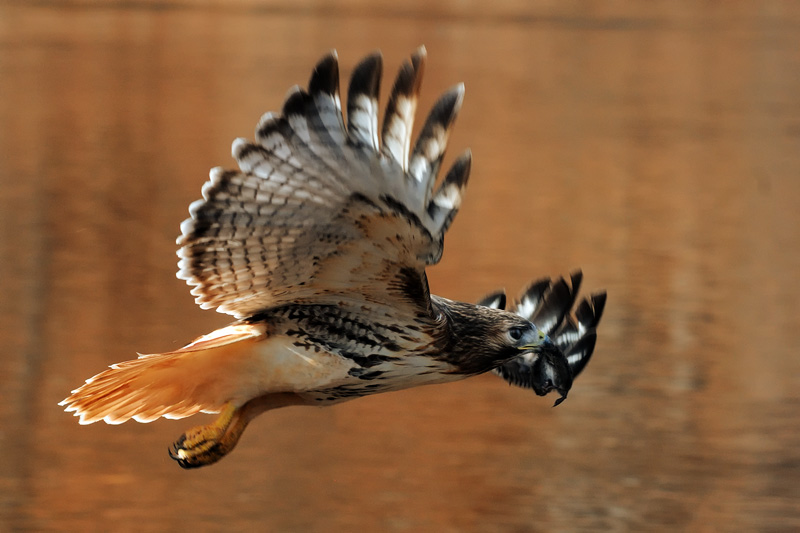 Hawk in flight with prey