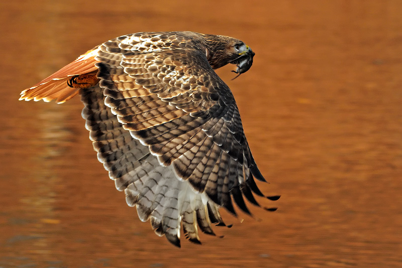 Beautiful Hawk in flight over a river reflecting autumn foliage color