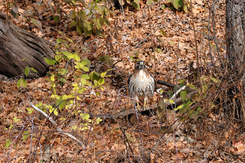 Red-tailed hawk standing on the ground