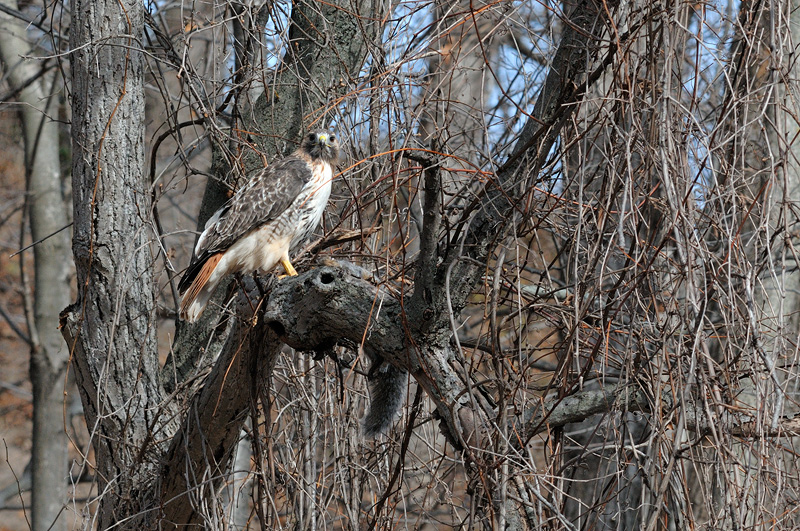 Gorgeous Red-tailed hawk eating a large gray squirrel up in a tree