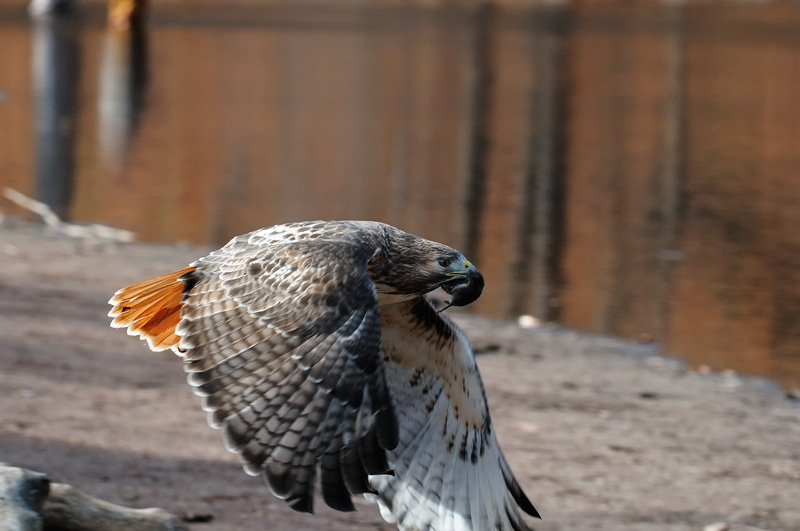 Red Tailed Hawk Hunting And Pictures With Prey