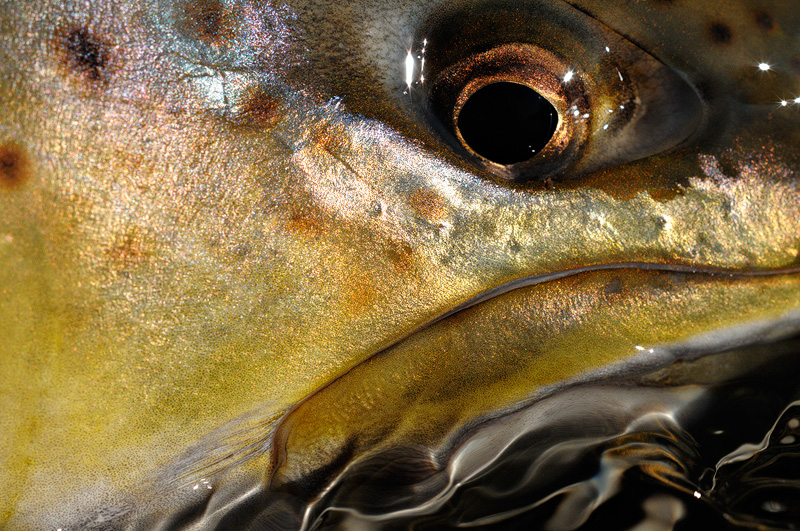 macro photo of a female brown trout face