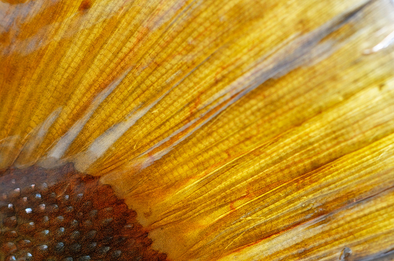 macro close up view of a brown trout tail