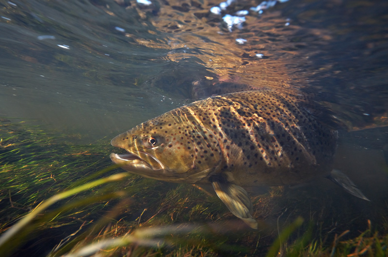 Steelhead trout underwater images for Fly fishing photography