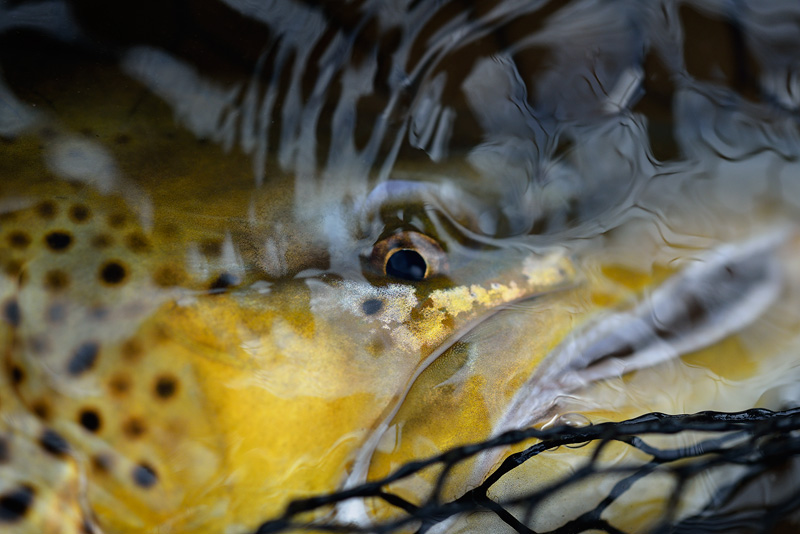 brown trout eye underwater
