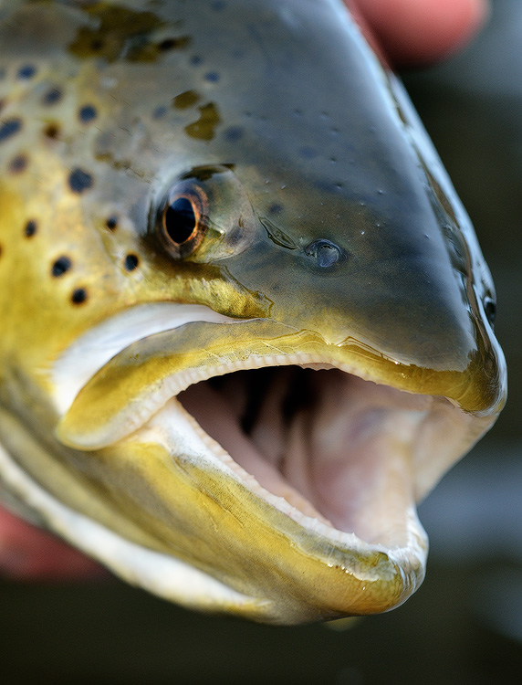 brown trout face close up macro photo