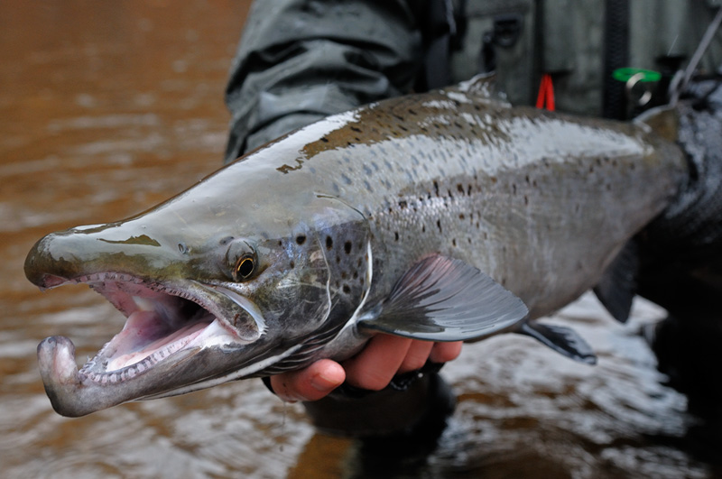 Fall Fly Fishing 2010 Atlantic Salmon, Brown trout and