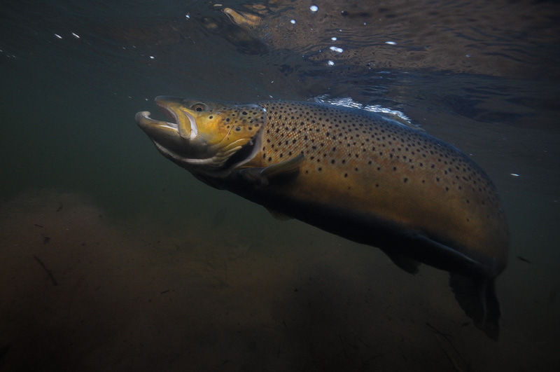 Fly Fishing Trout and ...
