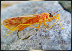 Realistic October Caddis Fly