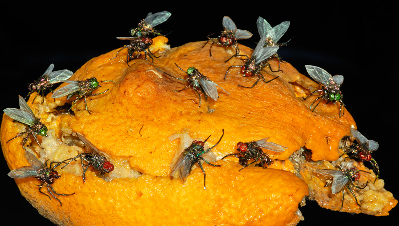 realistic houseflies on an orange
