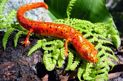 external image red-salamander.jpg